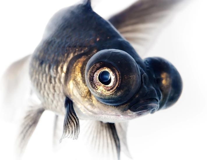 Picture of a goldfish