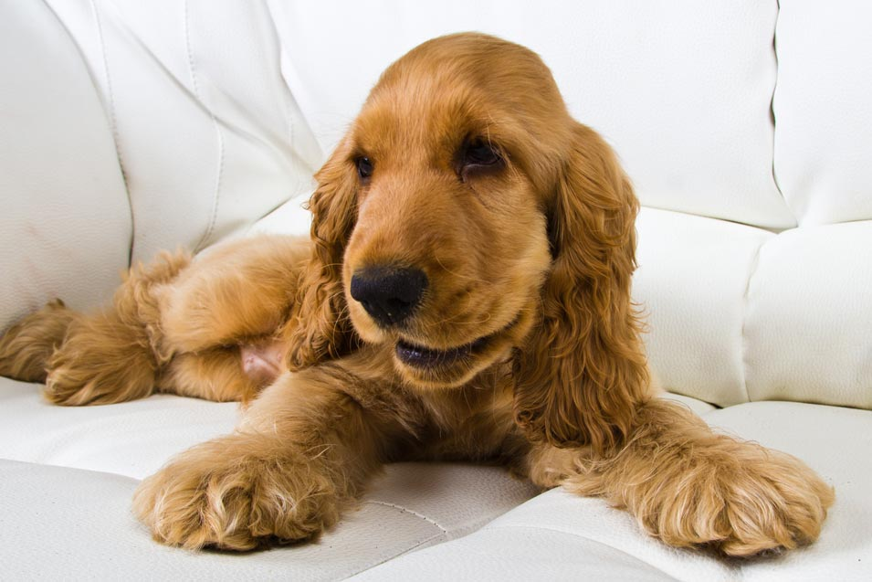 Picture of puppy on a leather sofa