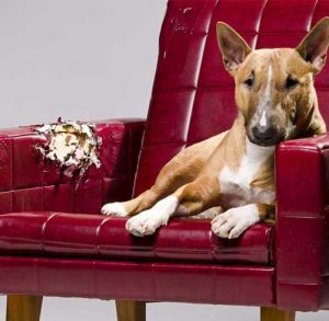 Picture of Staffordshire Bull Terrier in a red leather chair