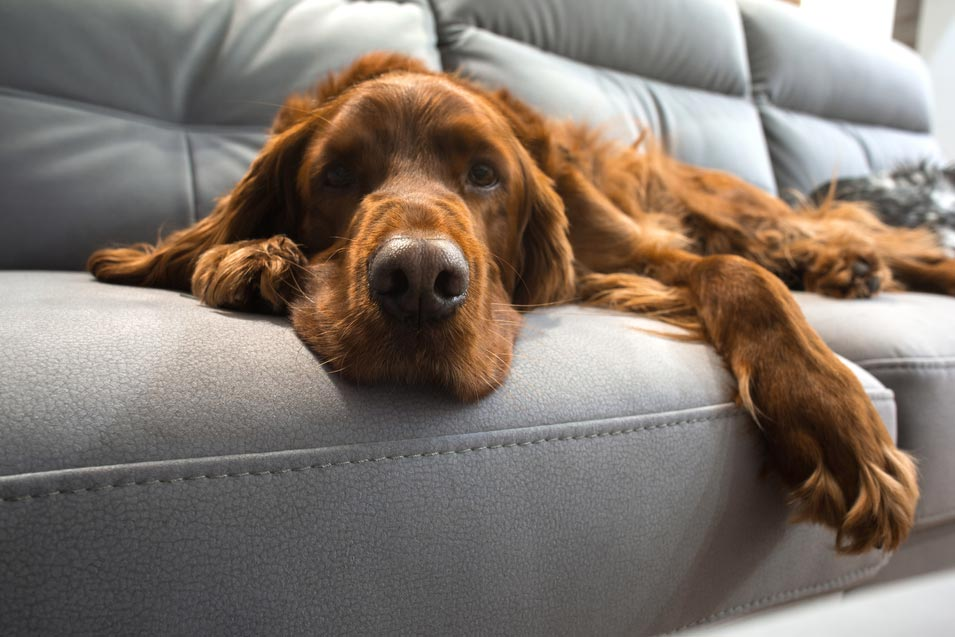 Picture of a dog relaxing on a leather sofa
