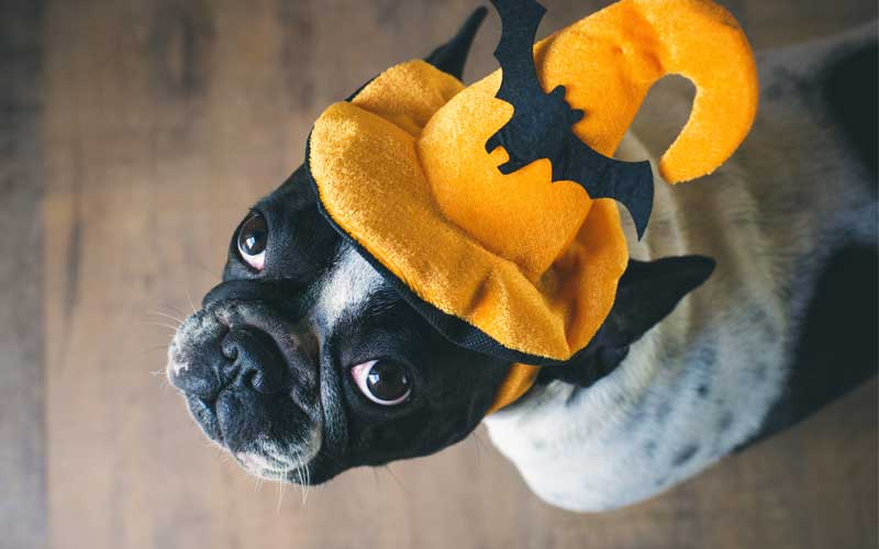 Picture of a Boston Terrier at Halloween