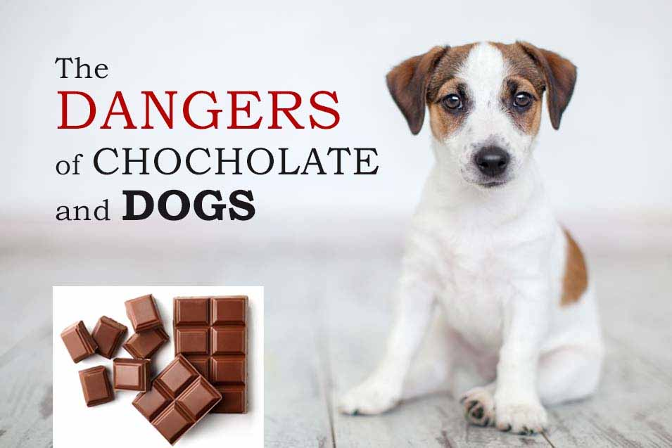 Picture of Jack Russell and Chocolate
