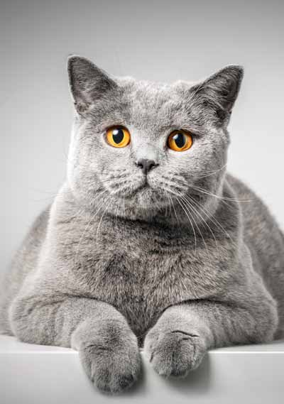 Picture of British Shorthair Cat