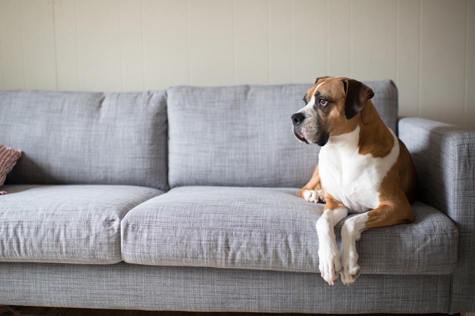 Picture of a boxer dog sitting on the couch