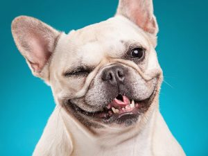 Picture of French Bulldog on a blue background