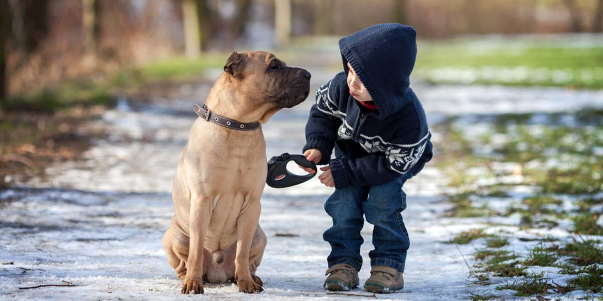 Picture of a boy walking a bull mastiff