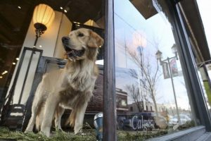Picture of Golden Retriever at at store in Calgary