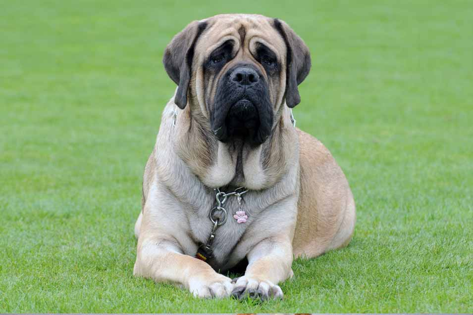Picture of a Mastiff on grass