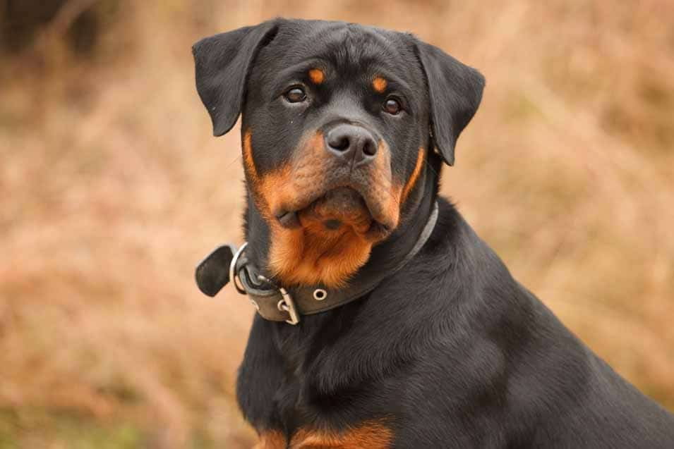 Picture of a Rottweiler