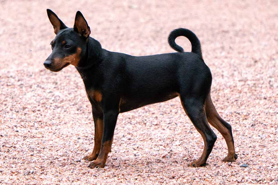 Picture of a Toy Manchester Terrier