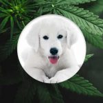 Image of a dog and cannabis
