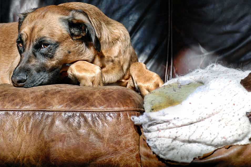 Picture of a dog laying on a leather sofa