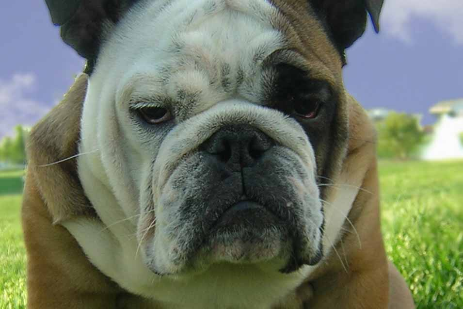 Image of a grumpy bulldog