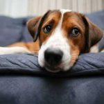 Image of a sad dog on a sofa