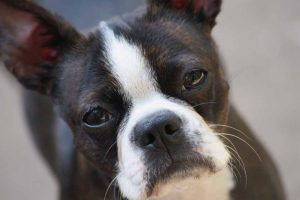 Picture of french bulldog
