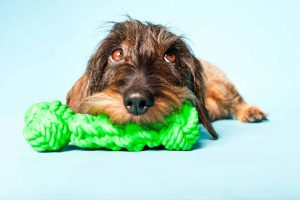 Picture of dog chewing a toy