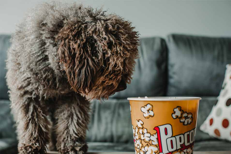 Picture of a dog looking at popcorn