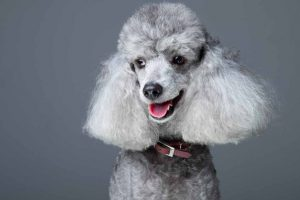 Picture of a grey poodle
