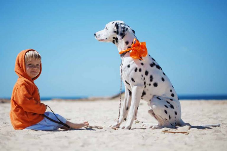 Picture of Dalmatian dog on the beach with a boy