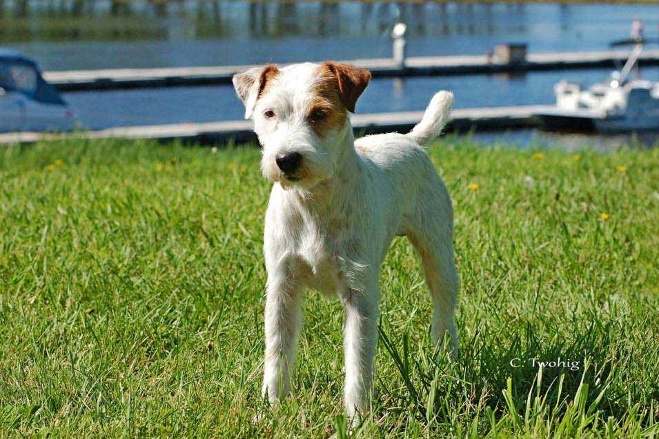 Picture of Jack Russell Terrier in the back yard