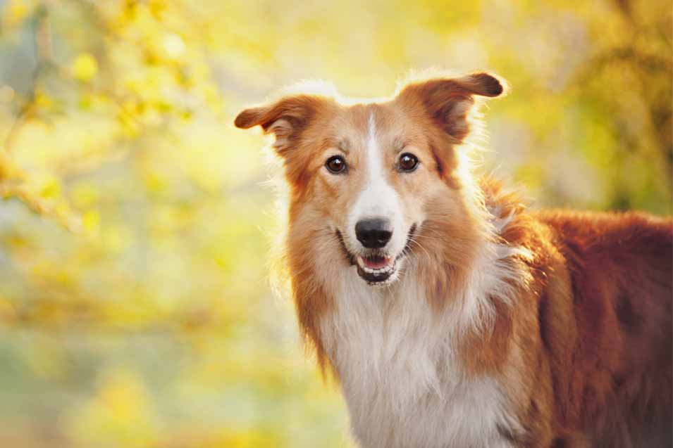 Picture of collie outside