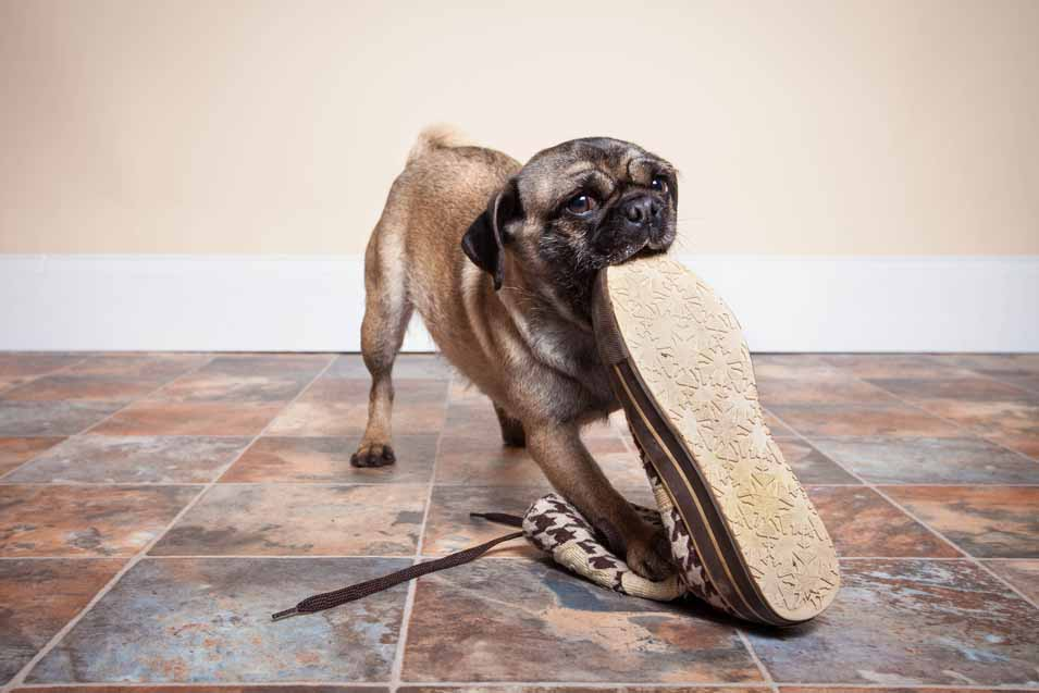 Picture of a dog eating a shoe