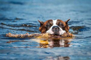 Picture of a dog in the water with a stick