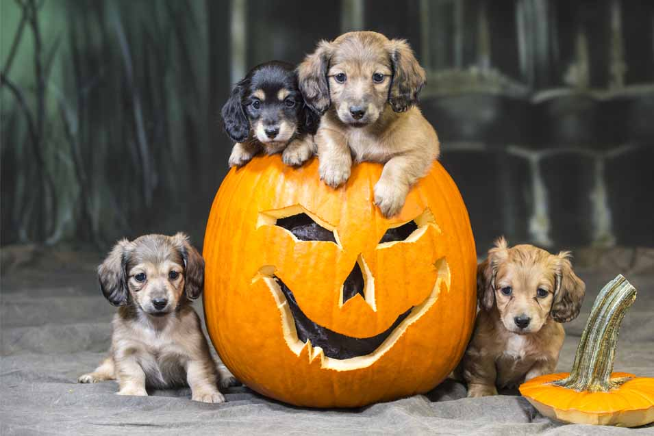 Picture of puppies sitting in a pumpkin