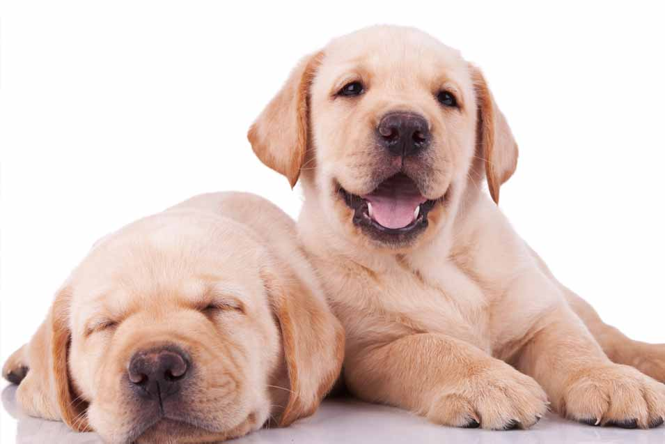 Puppy of two Golden Retriever puppies
