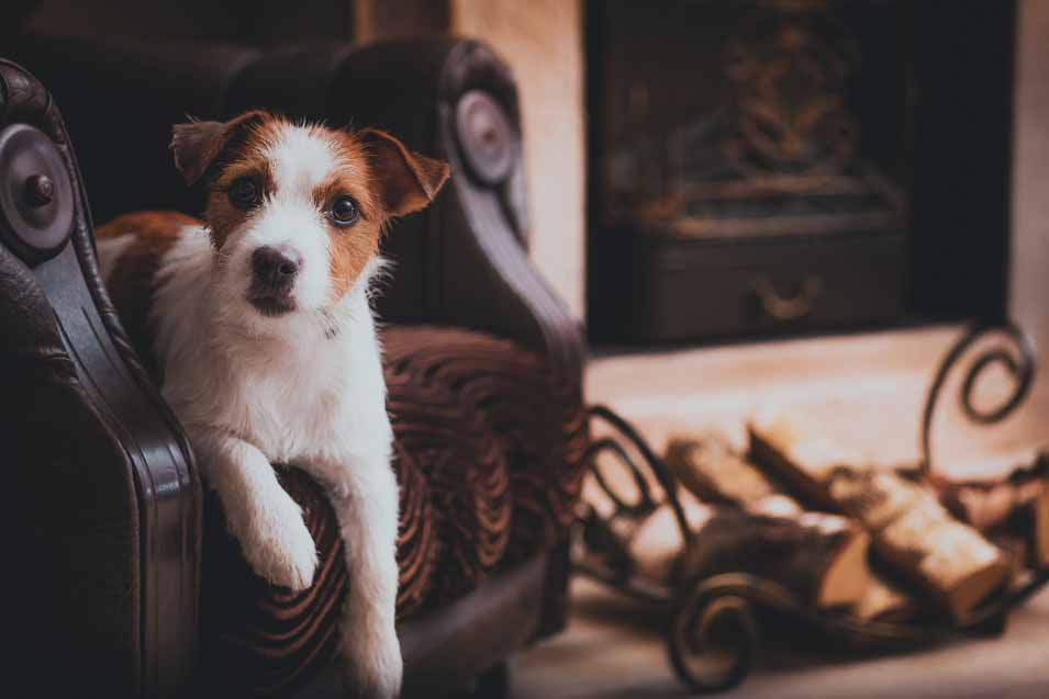 Picture of a Jack Russell sitting on a leather chair