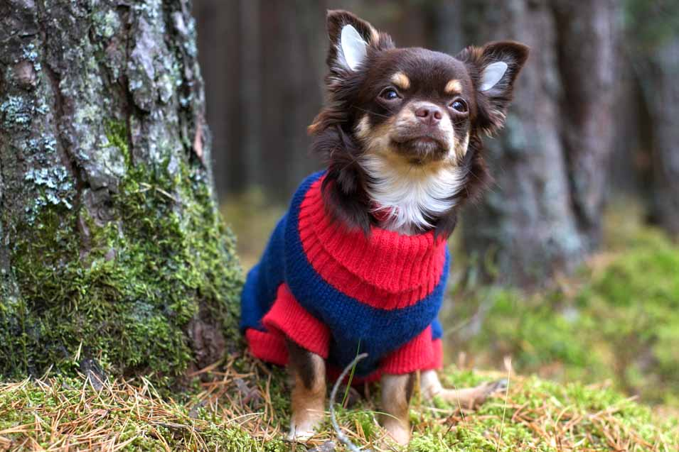 Picture of Chihuahua wearing a sweater