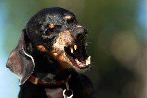 Picture of a dog showing its teeth