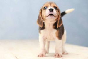 Picture of a puppy barking