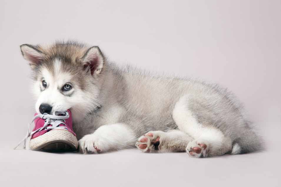 Picture of Husky chewing on shoes