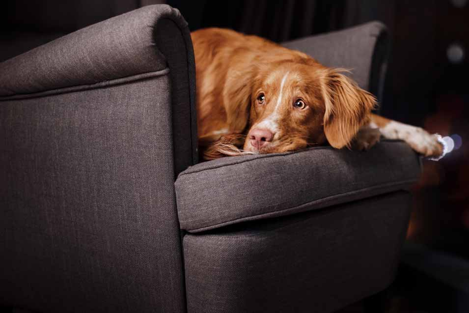 Picture of Nova Scotia Duck Tolling Retriever laying on a living room chair