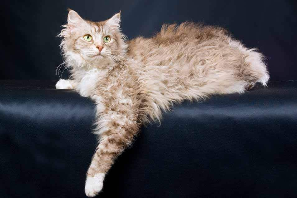 Picture of a LaPerm Cat