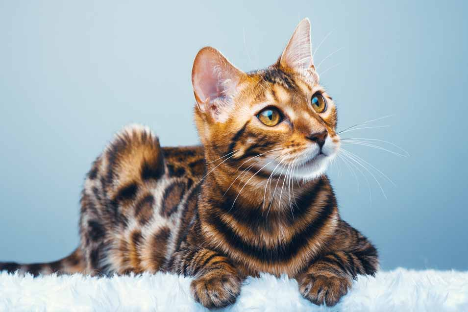 Picture of spotted cat