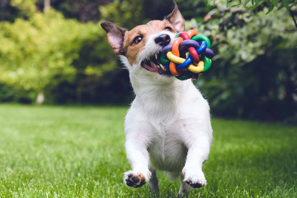 Picture of a Jack Russell running with a toy