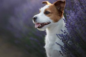 Picture of Jack Russell Terrier and flowers