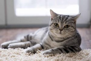 Picture of cat laying on a rug