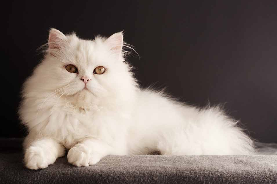 Picture of white cat