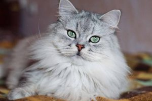 Picture of grey cat with green eyes