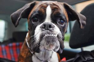 Picture of a Boxer in a car