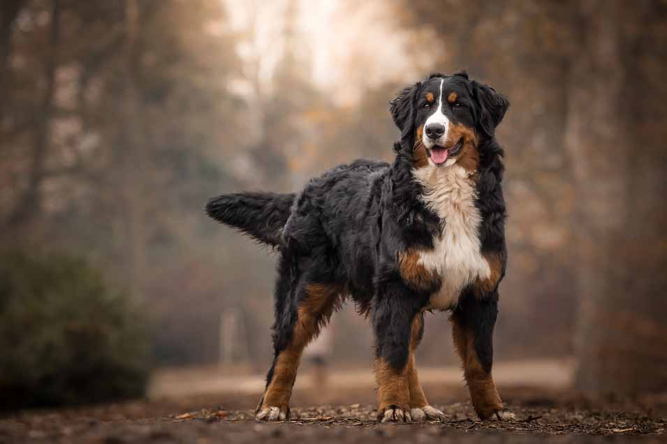 Picture of Bernese Mountain Dog outdoors