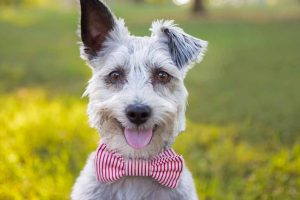 Picture of a dog wearing a bowtie