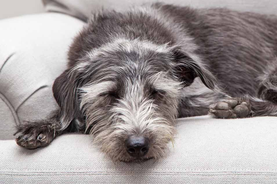 Picture of grey dog on a sofa