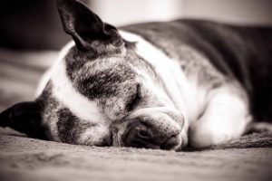 Picture of a old dog sleeping