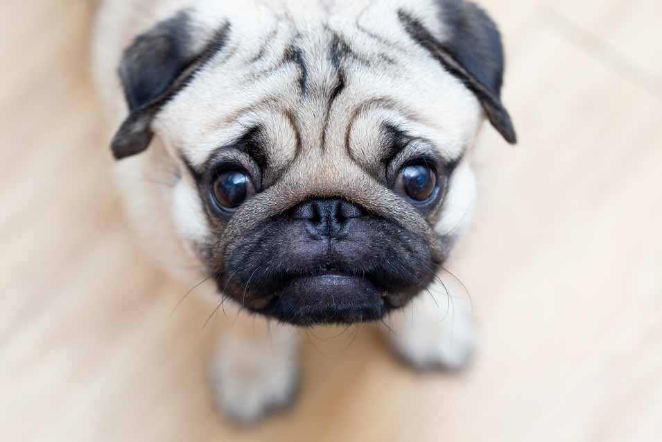 Picture of young pug