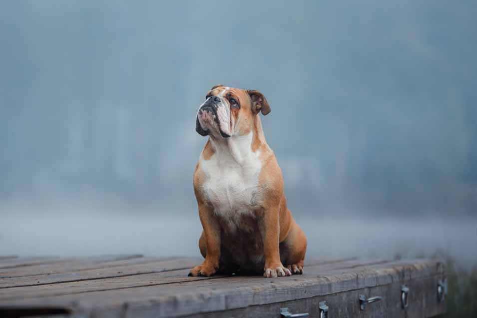 Picture of bulldog by the lake