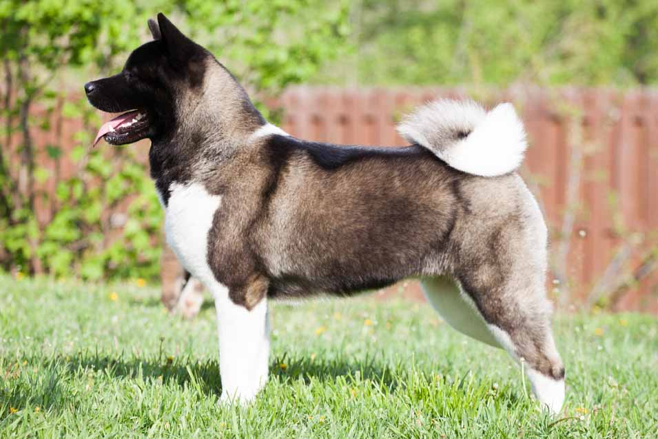 Picture of an Akita